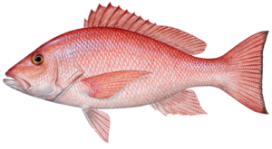 Red Snapper Seacoast