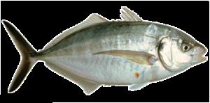 trevally seacoast